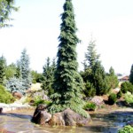 conifers at the Oregon Garden